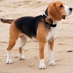 imagenes-perros-beagle-p